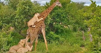 girafa-leoes